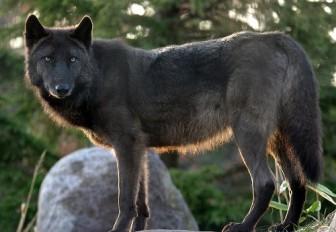 奇跡の動物園,旭山動物園物語,オオカミの森