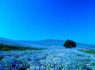 ひたち海浜公園,ネモフィラの花