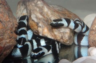 エラブウミヘビ,千葉,銚子,毒